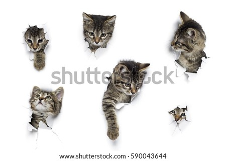 Kittens in holes of paper, little grey tabby cats peeking out of torn white background, six funny playing pets  #590043644