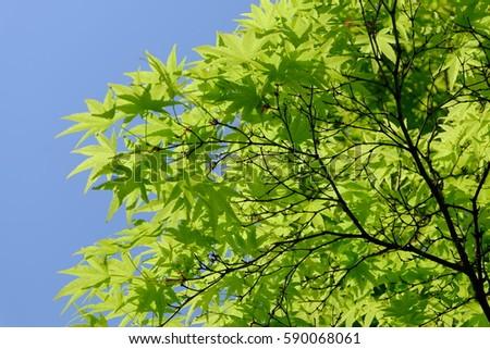 Fresh green leaves of Japanese maple (Irohamomiji in Japanese) #590068061