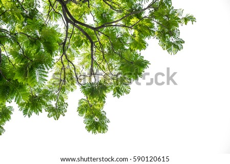Green leaves and branch  isolated on white background #590120615
