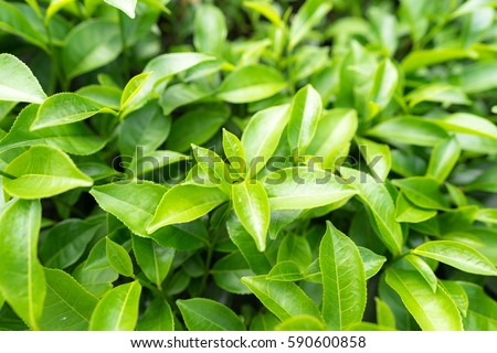 Green tea leaves in a tea plantation in morning Royalty-Free Stock Photo #590600858