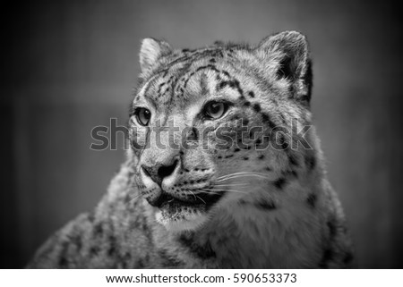 Snow leopard portrait black & white #590653373