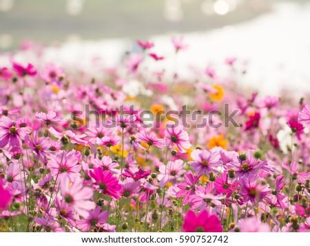 Flower Field Cosmos #590752742