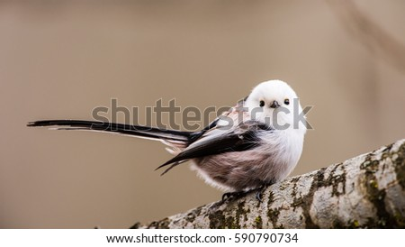 Long-tailed tit or long-tailed bushtit (Aegithalos caudatus) perching on an oak branch with a defocused background #590790734
