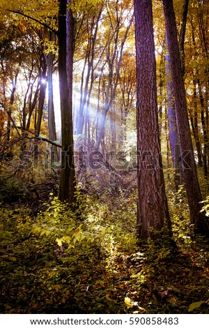 Beam of light between trees in dark forest in Poland #590858483
