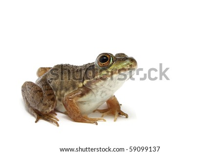 Green frog (Rana clamitans) #59099137
