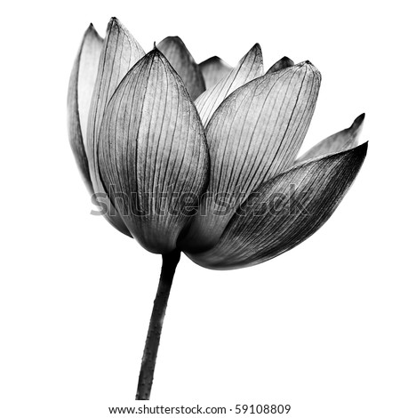 Lotus in black and white on white background. #59108809