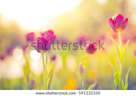 Closeup spring nature landscape. Colorful pink tulips blooming under sunlight on summer blurred background