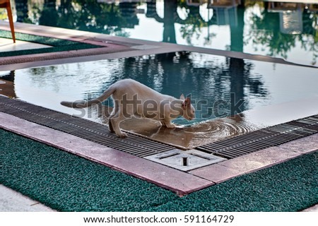 Shorthair cat skinny cream colored, drinks water from the swimming pool outdoors in summer day. #591164729