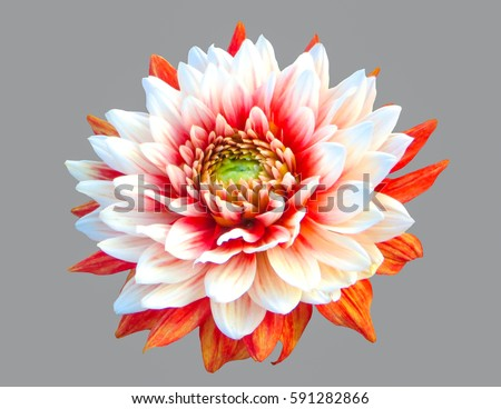 Flower beautiful dahlias on a gray, striped isolated background. #591282866