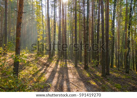 Sunny autumn forest with foggy air in the morning #591419270