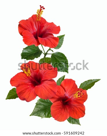bright large flowers and buds of red hibiscus isolated on white background #591609242