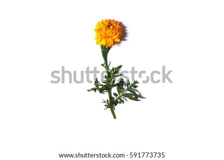 Marigold #591773735