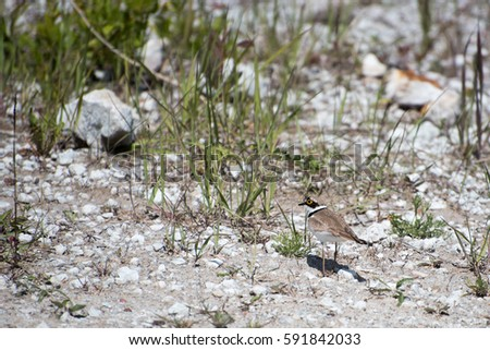 White Wagtail #591842033