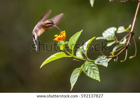 Minute Hermit (Phaethornis idaliae) feeding on the nectar of a flower, in Sooretama, Espirito Santo, Brazil. #592137827