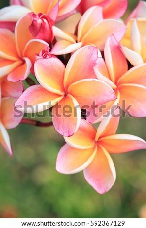 Closeup of plumeria flowers #592367129