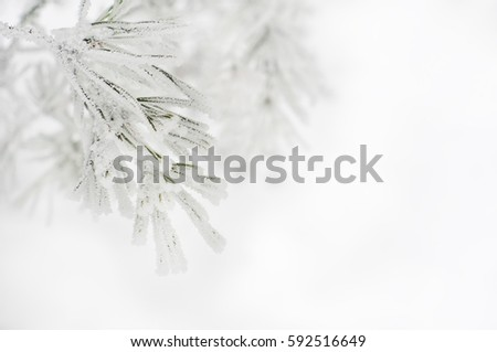 Branch of pine tree covered with snow #592516649