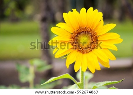 Close up beautiful sunflower at the park. Sunflower oil for the healthy life. #592674869