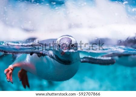 Gentoo Penguin in Water