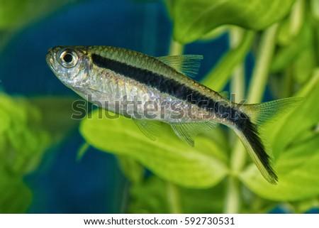 Portrait of freshwater tetra fish (Boehlkea fredcochui) in aquarium #592730531