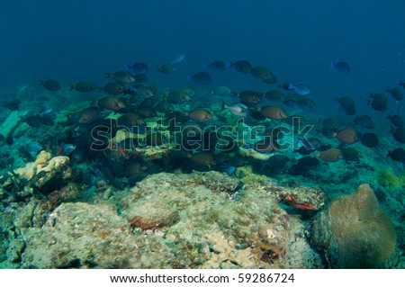 Large School of Blue Tangs, Doctorfish, and Surgeonfish swimming over a reef in Broward County, Florida. #59286724