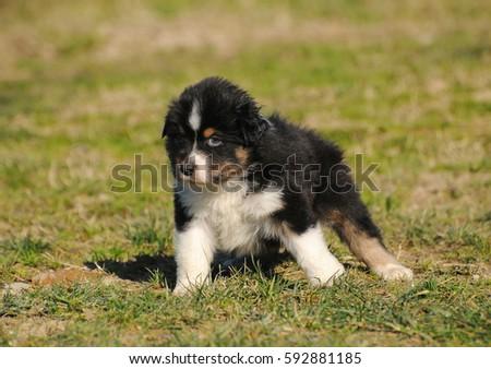 Australian shepherd purebred dog puppy in the meadow. #592881185