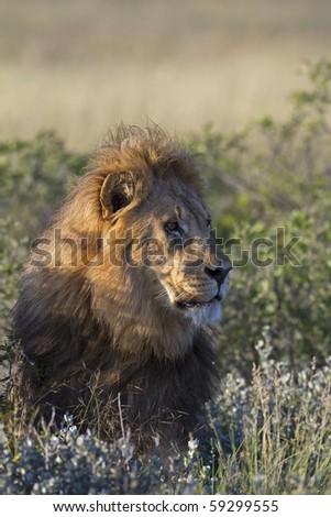 Portrait of male lion; Panthera leo #59299555