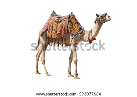 The lonely domestic camel isolated on white Royalty-Free Stock Photo #593077664
