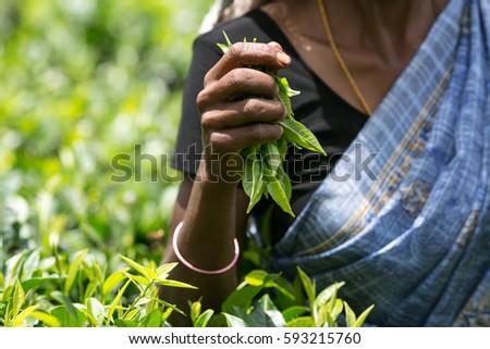Asian tea picker holding in her hands freshly picked green tea leaves #593215760