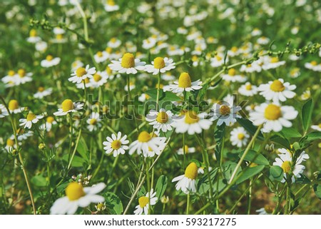 Daisies in the field  #593217275