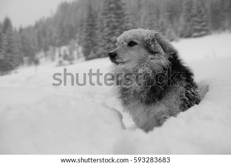 a funny little dog covered with snow and sitting on the road in winter forest, monochrome, black and white  #593283683