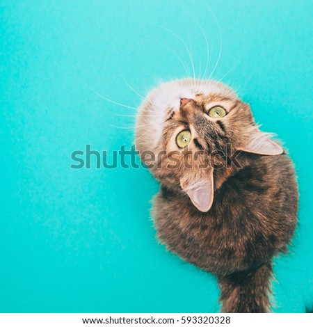 beautiful cat is sitting on blue background upside down