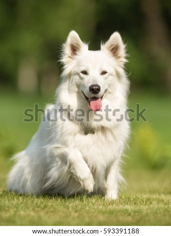 Healthy purebred dog photographed outdoors in the nature on a sunny day. #593391188
