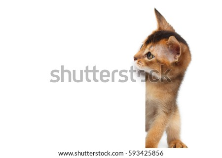 Curious Abyssinian Kitty Looking side on Isolated White Background Royalty-Free Stock Photo #593425856