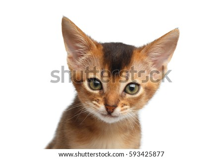 Closeup Portrait of Cute Abyssinian Kitty interesting Looking in Camera on Isolated White Background, front view Royalty-Free Stock Photo #593425877