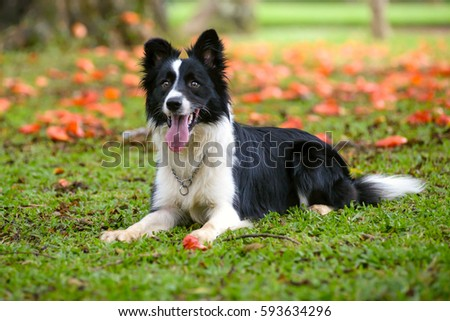 Attentive border collie dog lying down on the grass on a sunny d #593634296