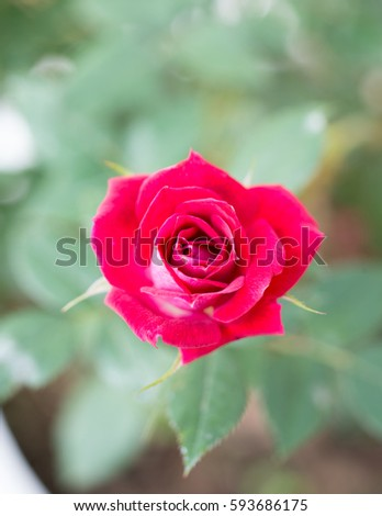 Single pink rose on green background, selective focus #593686175