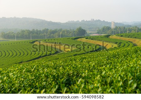 Green tea curve on hill in a morning, Chiang Rai, Thailand, Asia #594098582