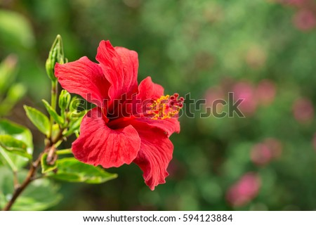 Red hibiscus flower on a green background. In the tropical garden. #594123884