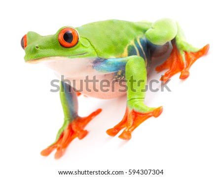 Red eyed monkey tree frog an animal with vibrant eyes. Agalychnis callydrias lives in the rain forest of Costa Rica and Panama. Amphibian isolated on white background.  #594307304