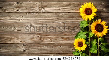 Autumn background with sunflowers on wooden board #594316289
