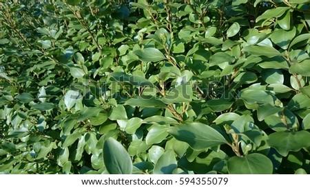 Laurel leaves #594355079