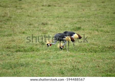 Grey crowned cranes (Balearica regulorum) in Ngorongoro Crater, Tanzania #594488567