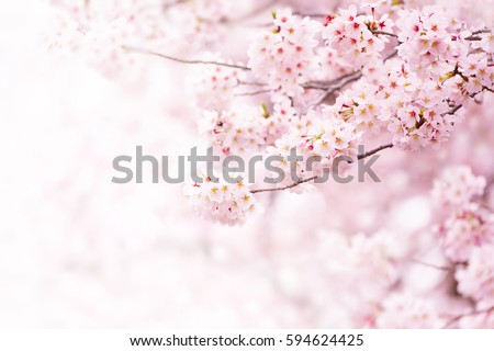Cherry blossom in full bloom. Cherry flowers in small clusters on a cherry tree branch, fading in to white. Shallow depth of field. Focus on center flower cluster. #594624425