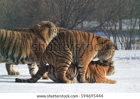 The Siberian tiger (Panthera tigris altaica), also called Amur tiger is a tiger subspecies inhabiting mainly the Sikhote Alin mountain region with a small population in southwest Primorye Province.  #594695444