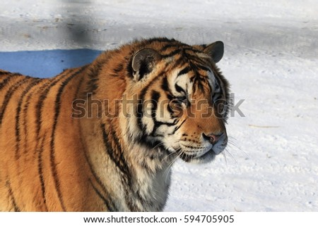 The Siberian tiger (Panthera tigris altaica), also called Amur tiger is a tiger subspecies inhabiting mainly the Sikhote Alin mountain region with a small population in southwest Primorye Province.  #594705905