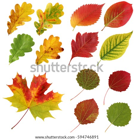Set of autumn leaves isolated on white background.  oak, elm, aspen, hawthorn, maple and others. #594746891
