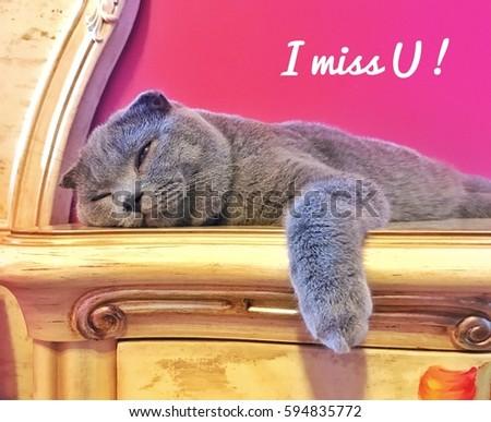 Cat Scottish fold breed /Photo with caption