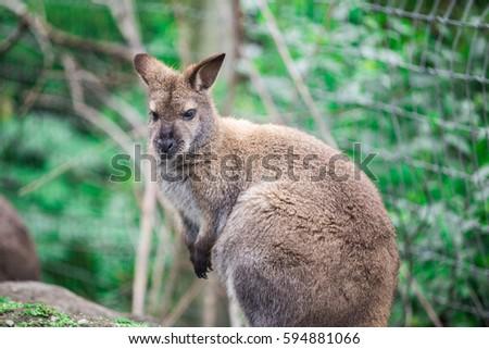Young Kangaroo looking close-up #594881066