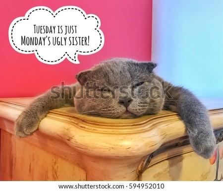 Cat Scottish Fold breed/photo with caption
