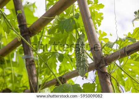 planting vegetables rails vine crops Basket, Wild Bitter Gourd, Bitter Cucumber,Bitter Gourd. #595009082